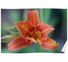 Asiatic lily in Wakarusa Poster