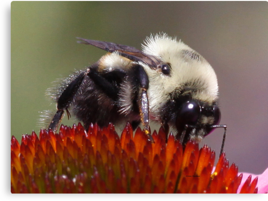 Bee on a cone flower by Dennis Cheeseman