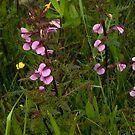 Marsh Lousewort - a purple beauty by steppeland