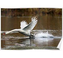Territorial Swan Poster