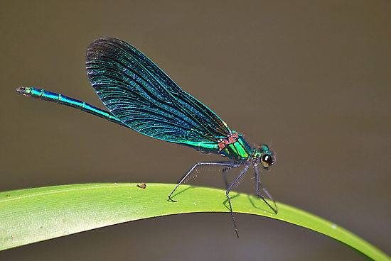 Demoiselle  Agrion   [ calopteryx virgo ] by relayer51