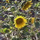 Field of Sunflowers by Jennifer Ingram
