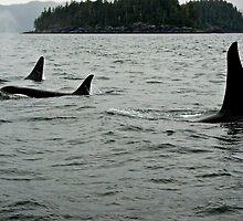 ~ Northern Resident Orcas ~ by Brenda Boisvert