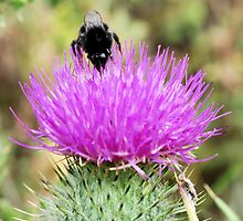 Bee On Flower 0047 by mike1242