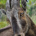 Goat by Jagadeesh Sampath