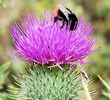 Bee On Flower 0052 by mike1242
