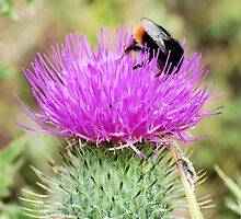 Bee On Flower 0053 by mike1242