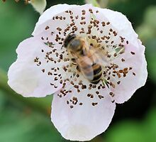 Bee On Flower 0054 by mike1242