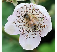 Bee On Flower 0054 Photographic Print