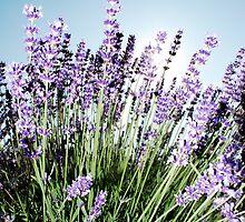 Lavender Fest '09 by SparrowPhoto
