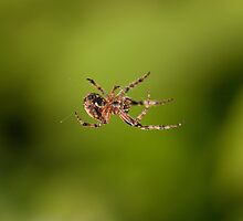 Garden Spider spinning a web by Jon Lees
