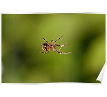 Garden Spider spinning a web Poster