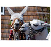 Llamas Gypsies! Poster