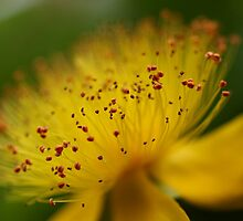 hypericum macro by Timothy Adams