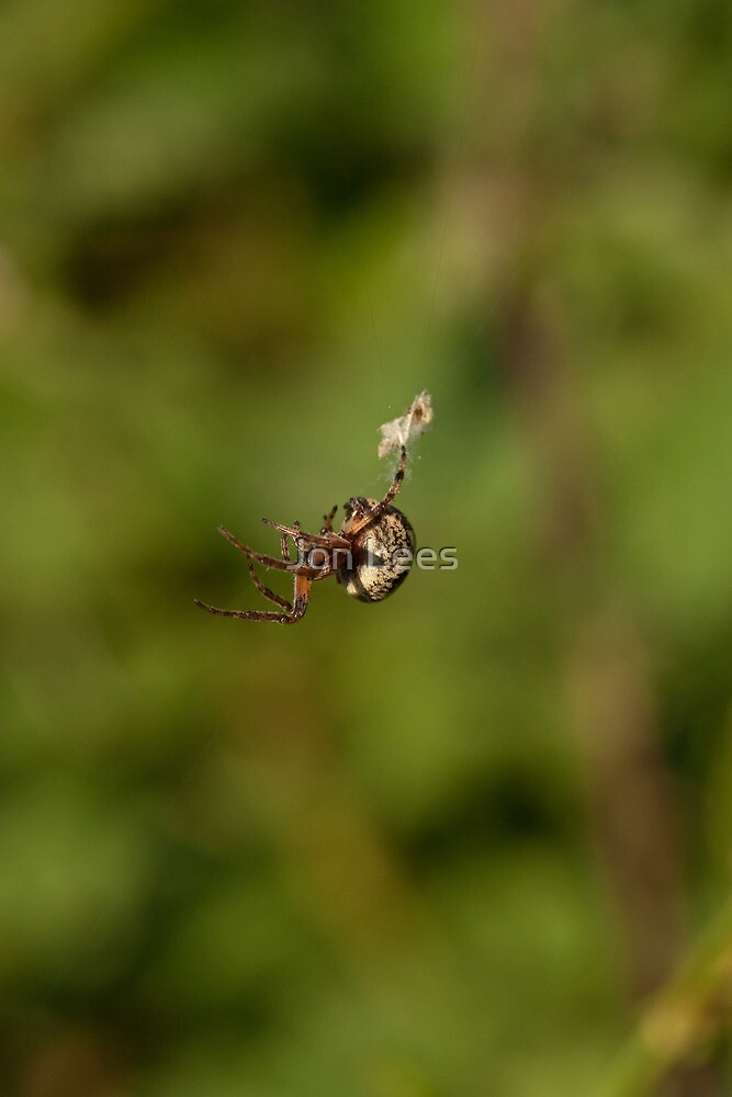 Garden Spider spinning a web by Jon Lees