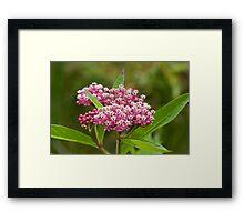Swamp Milkweed (Asclepias incarnata) Framed Print