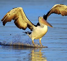'' PELICAN SPLASH DOWN '' MARLO VIC. by helmutk