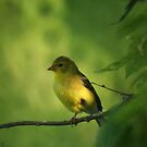 American Gold Finch by Dave & Trena Puckett