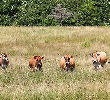 The 4 Cows by HALIFAXPHOTO