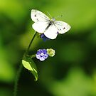 Forget-Me-Not Butterfly by CBoyle
