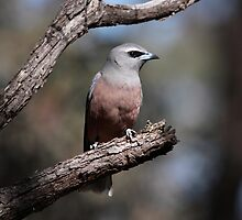 White-browed Woodswallow by mosaicavenues