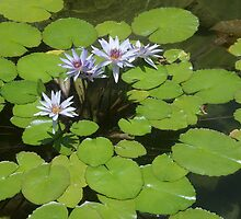 Water Lillies  by SUZYQ56
