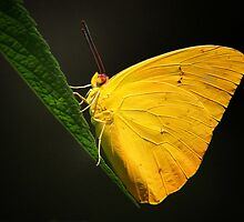 Orange Banded Sulphur Butterfly by John Absher