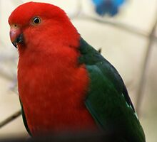 King Parrot by BronReid