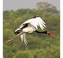 Saddle Bill Stork Photographic Print
