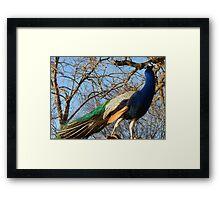 Beautiful Peacock. Framed Print