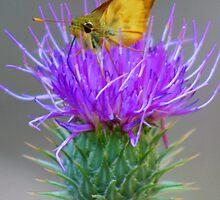 Butterfly on Thistle by Joe Webb