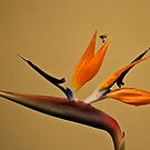 Bird of Paradise, Antigua by morealtitude