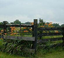 Back Fence - Daylilies     ^ by ctheworld