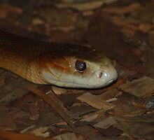 Coastal Taipan by NickBlake