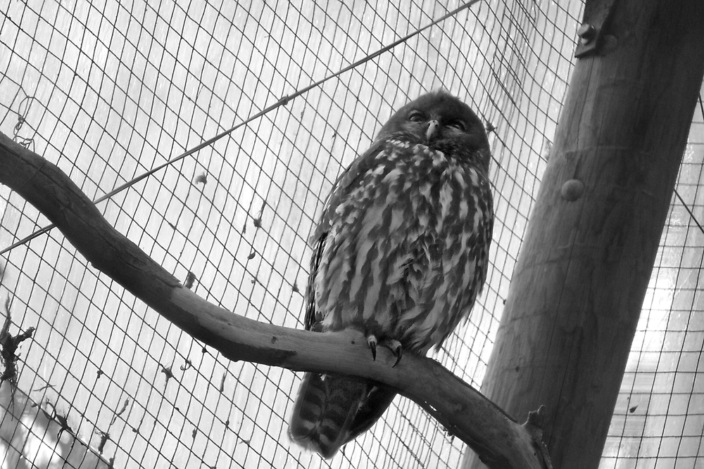 A Barking Owl by Georg Friedrich