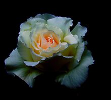 Rose in Peace by Marcus Walters