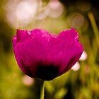 English Garden - Poppy  Dream by Marcus Walters