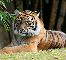 Bengal Tiger relaxing in the sun. by Deb22