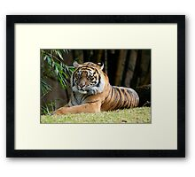 Bengal Tiger relaxing in the sun. Framed Print