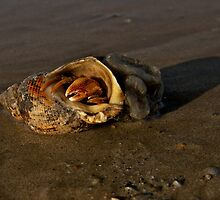 Hermit Crab on Fahan Beach by George Row