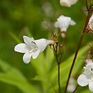 Foxglove Beardtongue by Mike Oxley