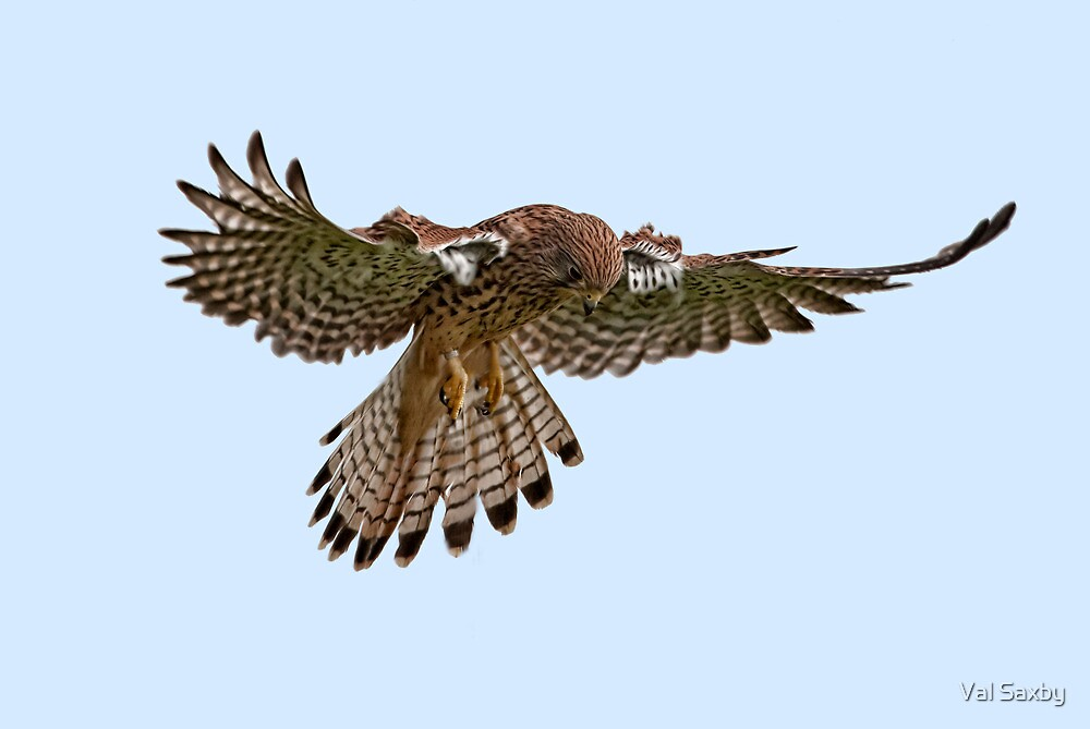 Kestral Hover by Val Saxby