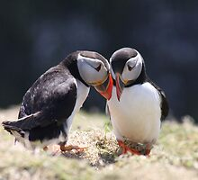 Puffin Love by Meurig Davies