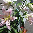 Tiger Lilly  flower in garden by paintnpot