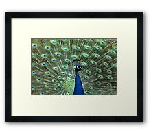 Peacock strutting his stuff Framed Print