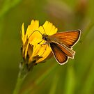Skipper on a Dandelion by David Friederich