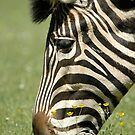 Chapman&#x27;s Zebra - (Equus quagga chapmani) by Robert Taylor