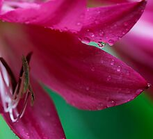 dew drop in by Ted Petrovits