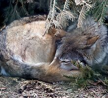 Mackenzie Valley Wolf - (Canis lupus occidentalis) by Robert Taylor