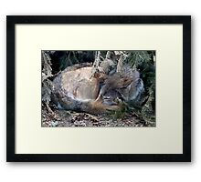 Mackenzie Valley Wolf - (Canis lupus occidentalis) Framed Print
